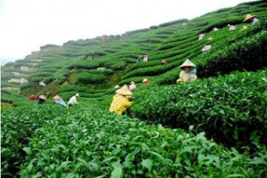 Kayu Aro Tea Plantation 2